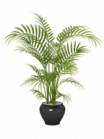 Areca palm houseplant.