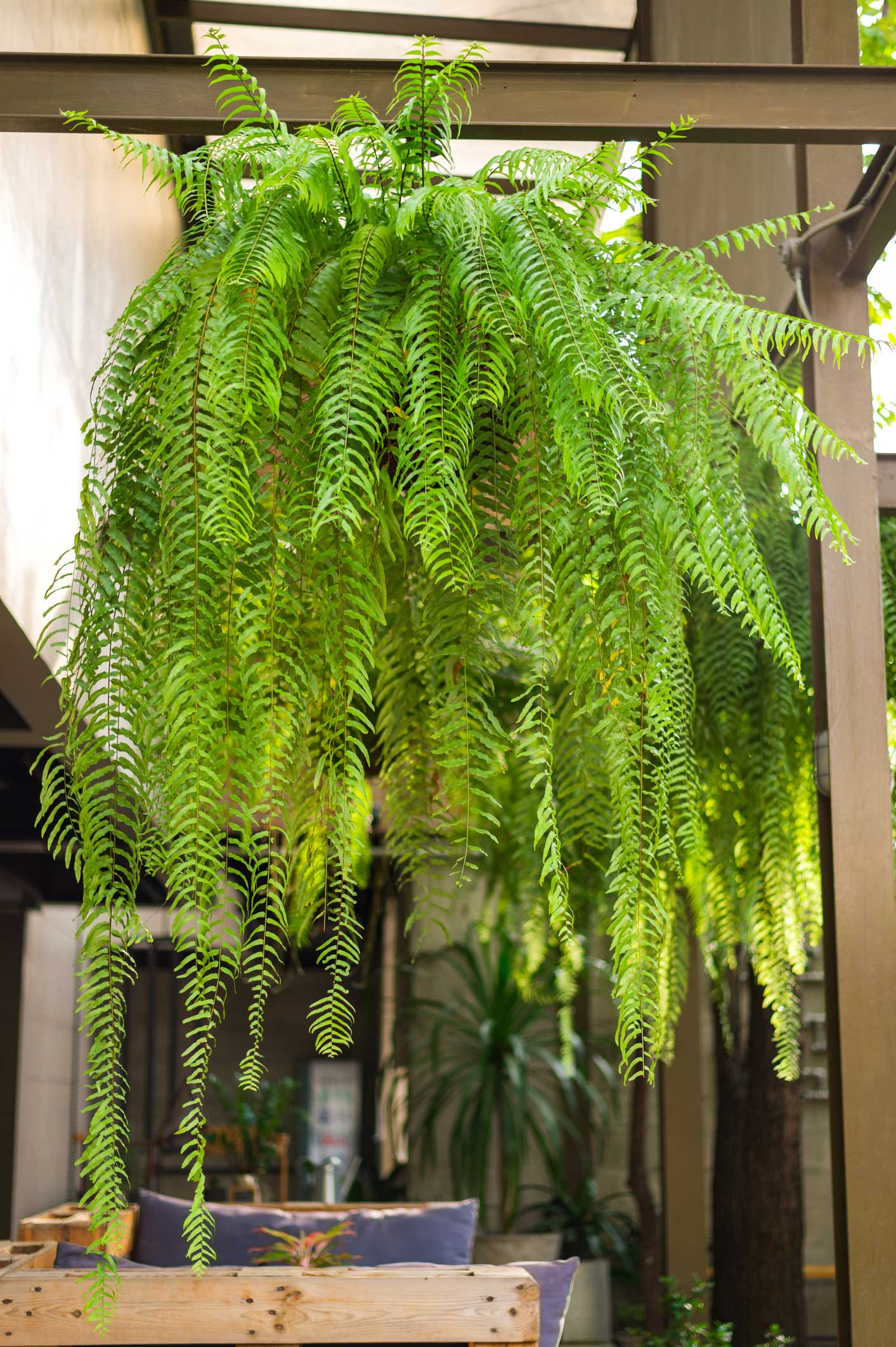 5. Boston Fern