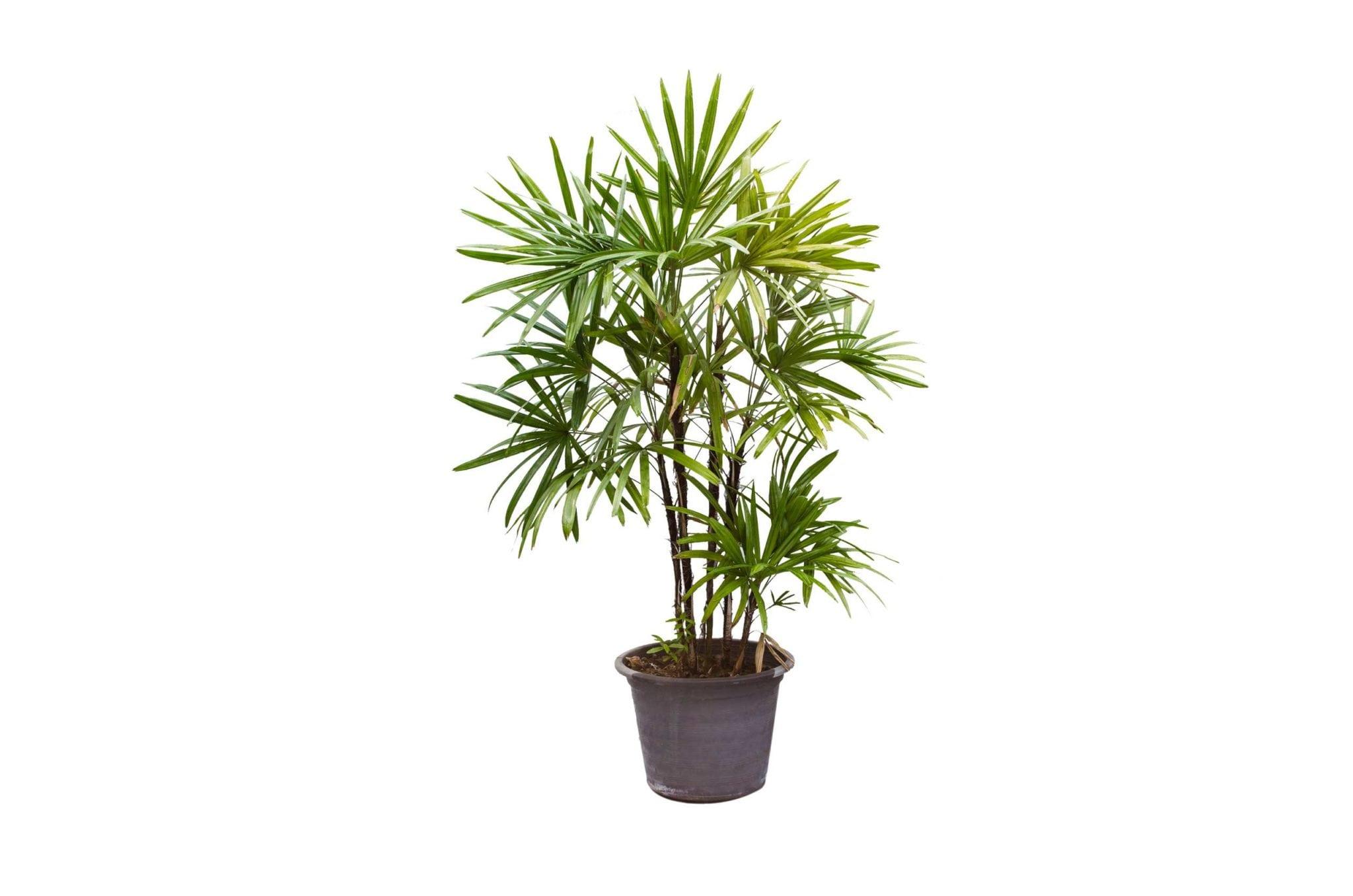 9. Lady Palm