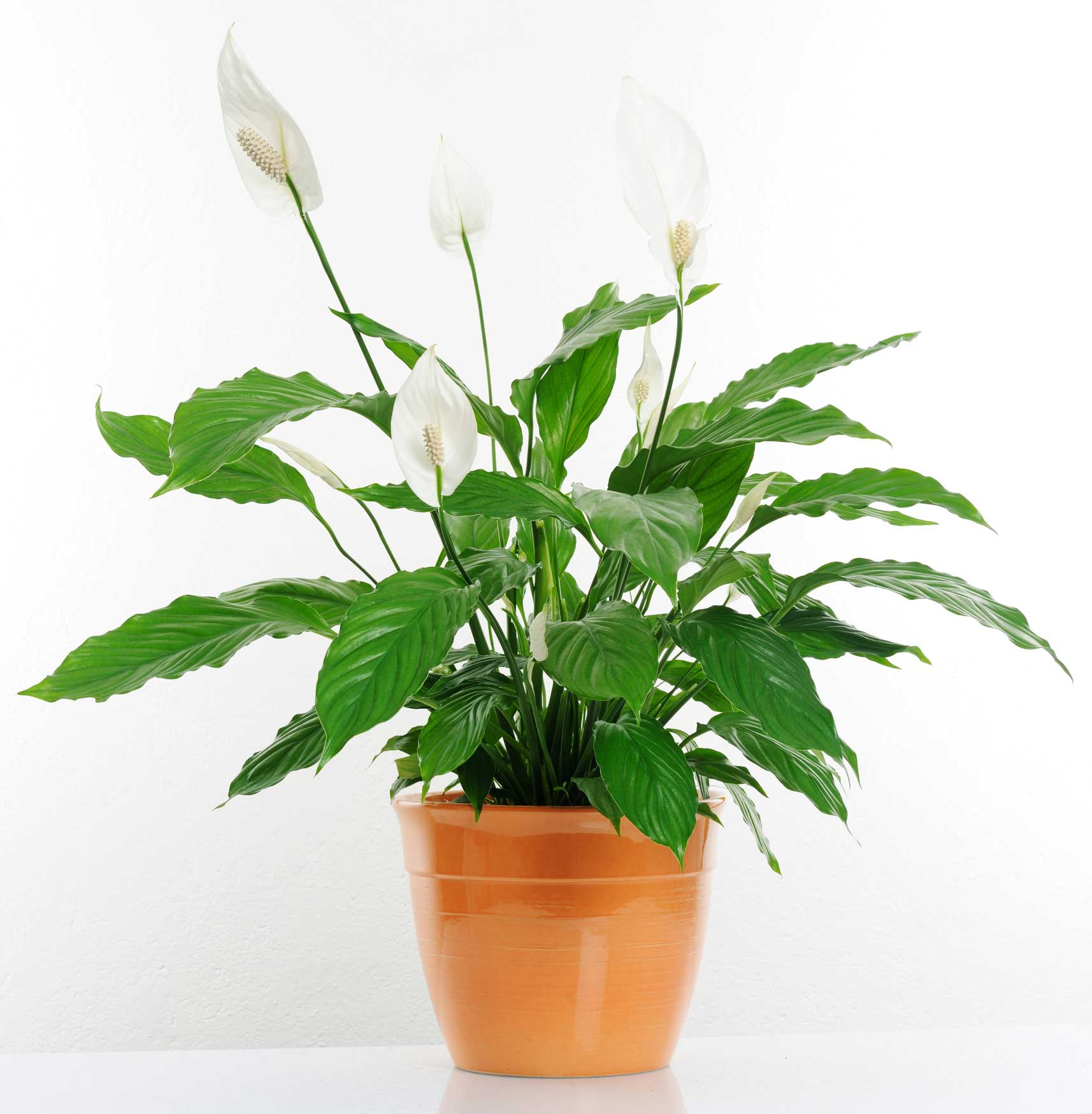 7. Peace Lily: