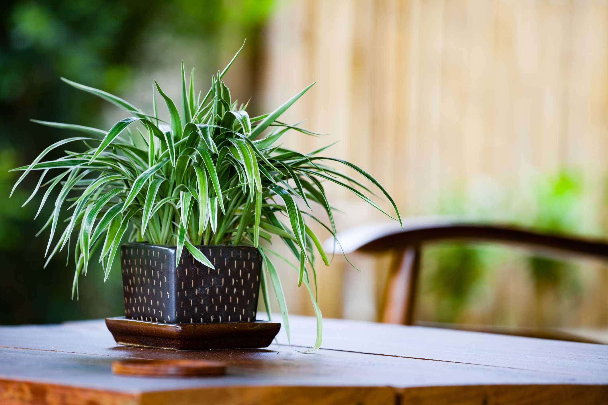 8. Spider Plant
