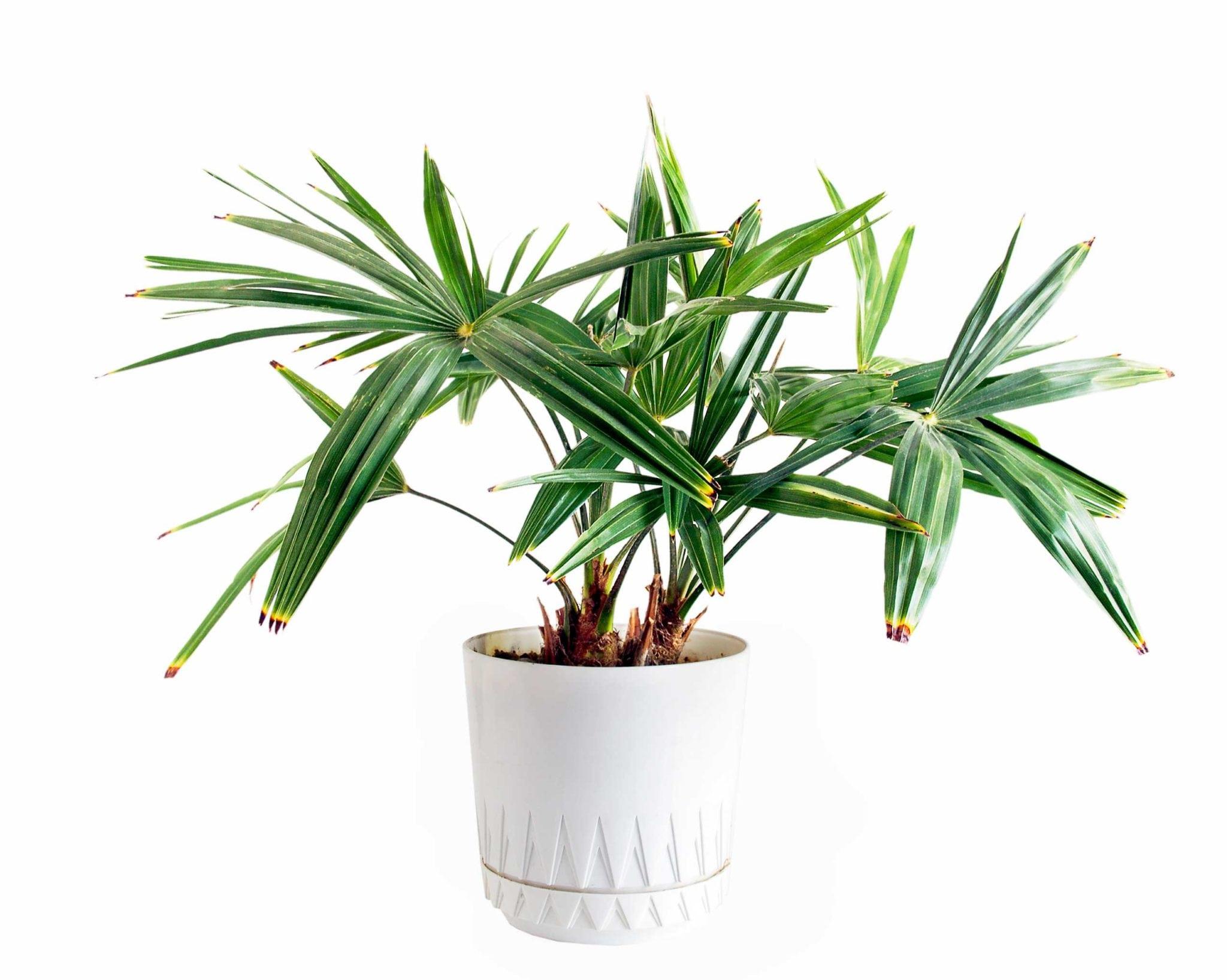 Финиковая пальма из косточек в домашних условиях фото