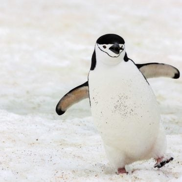 Penguin on snow.
