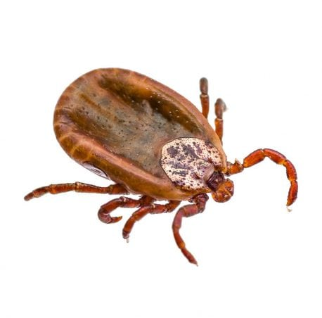 Infected Tick