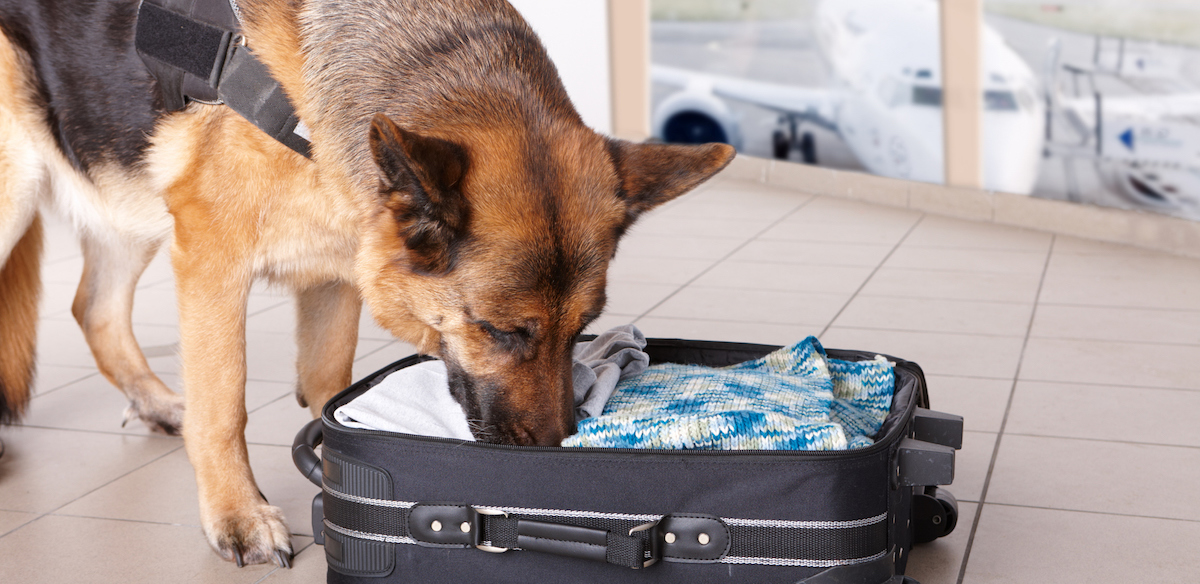 The Sniff Test: Can Dogs Keep Us Safe From COVID-19?